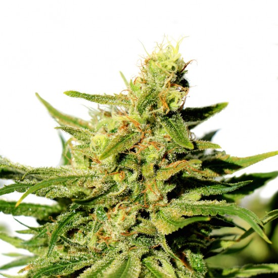 Package containing BCN Diesel CBD that is available to buy, and also showing the chemical formula
