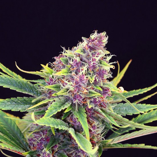 Package containing Purple Kush that is available to buy, and also showing the chemical formula
